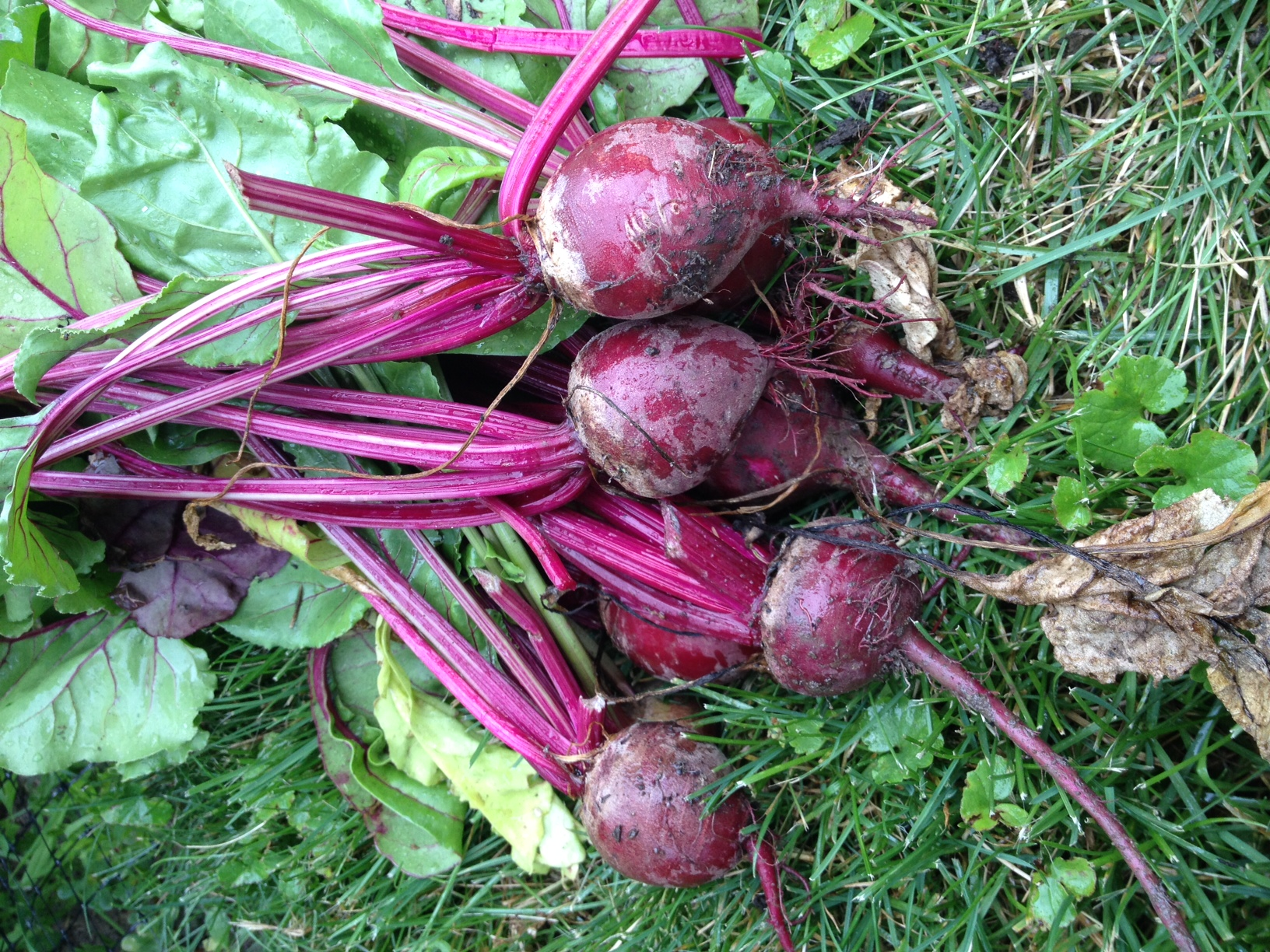 beets from my backyard garden