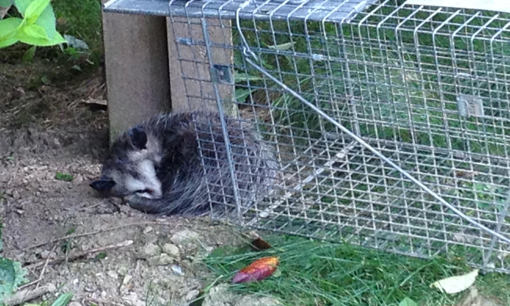 An opossum in my garden varmint cage