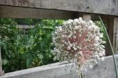 leek blossom