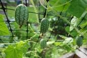 Mexican cucumber or watermelon gherkin