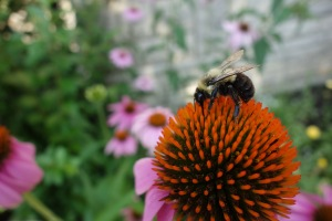 bee on a coneflower
