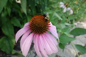 bee and echinacea