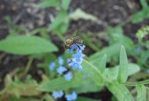 honeybee on Chinese forget-me-not blooms