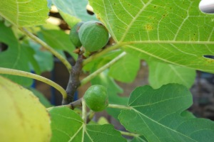 figs and fig leaves