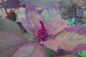 growing amaranth