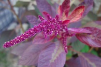 flowering amaranth