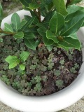 Shamrocks in the potted laurel