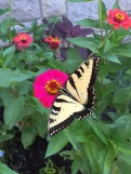 A beautiful yellow butterfly among the zinnias