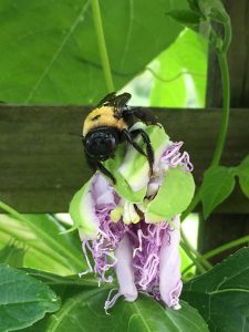 Bumblebee on a passion fruit flower on a vine growing in western Pennsylvania