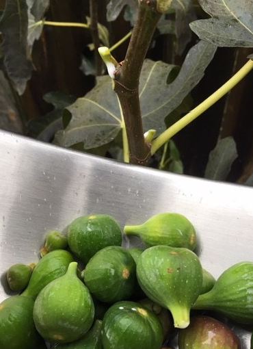 Harvested unripe figs in a stainless steel bowl, next to a fig stem--leaking white sap--from which an unripe fig was recently picked.